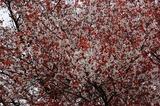 大坪の1本桜 (8)