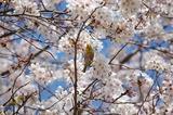 西都原公園の桜も咲き始めて (3)