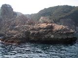 今回渡礁したオオカガミ