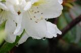 庭のシャクナゲ (2)