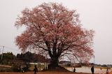 大坪の1本桜 (2)