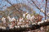 西都原公園の桜も咲き始めて