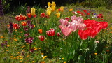 チューリップ開花