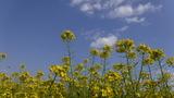 青空に映える菜の花 (2)