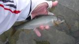 一ッ瀬川の鮎釣り (4)