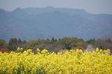 西都原公園の菜の花 (17)