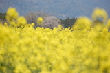 西都原公園の菜の花 (5)