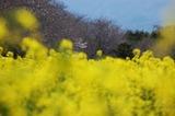 西都原公園の菜の花 (15)