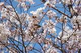 西都原公園の桜も咲き始めて (5)