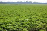 キャベツ畑のひまわり (3)