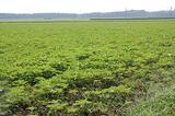 キャベツ畑のひまわり (2)