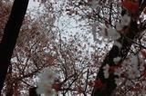 大坪の1本桜 (6)