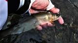 22日に一ッ瀬川で釣った鮎