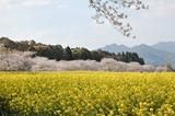 菜の花と桜 (3)