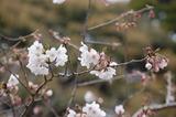 西都原公園の桜 (2)