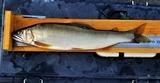 釣友達ガ16日に球磨川で釣った鮎 (1)