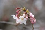 西都原公園の桜 (3)