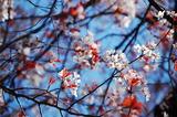 大坪の1本桜満開の葉っぱみ綺麗 (2)