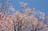 大坪の1本桜満開 (1)