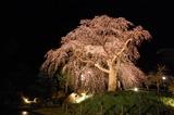 五ヶ瀬町・浄専寺・枝垂桜 (1)