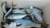 14日の美々津沖磯の釣果