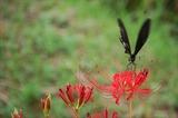 アゲハ蝶 (2)