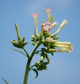 タバコの花