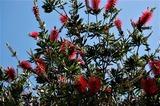ブラシ花 (1)