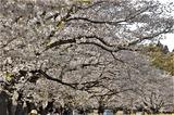 桜 (1)