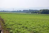 キャベツ畑のひまわり (1)