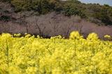 西都原公園の菜の花 (10)