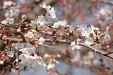 西都原公園の桜も咲き始めて (1)