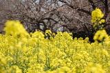 西都原公園の菜の花 (6)
