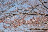 西都原公園の桜もツボミがたくさん付いて