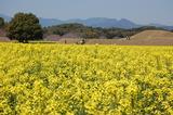 西都原公園の菜の花 (1)