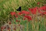 花水流の彼岸花 (2)