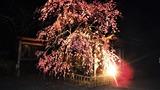 五ヶ瀬町のしだれ桜 (4)