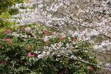 藤見公園のシャクナゲと桜 (4)