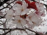 大坪の1本桜 (9)