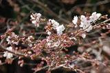 西都原公園の桜も咲き始めて (2)