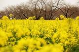 西都原公園の菜の花 (14)