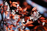 大坪の1本桜満開の葉っぱみ綺麗 (1)