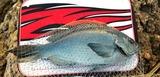 釣友が6日に深島の沖磯で釣った47センチのクロ(グレ)