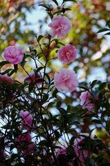 山茶花ピンク