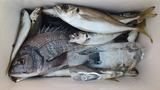 10日の美々津沖磯の釣果