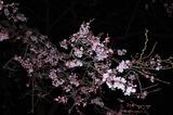 五ヶ瀬町・浄専寺・枝垂桜 (5)