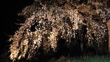 五ヶ瀬町のしだれ桜 (5)