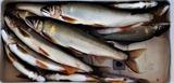 釣友達ガ16日に球磨川で釣った鮎 (3)