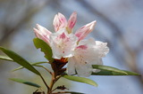 藤見公園のシャクナゲと桜 (5)