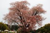 大坪の1本桜 (3)